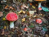 Red Mushroom, Amanita Muscaria Commonly Known As The Fly Agaric Or Fly Amanita. Taiga, Siberia. Macr poster