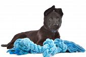stock photo of german-sheperd  - Black Shepherd puppy dog with a blue toy rope in front of a white background - JPG