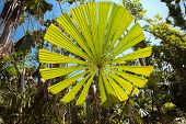 Fan palm tree with big round leaf lit by vibrant sun in Australian tropical rain forest, Licuala ram