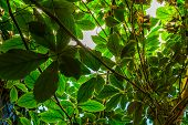 Leaves Of A Giant Grape Vine Plant, Tropical Cultivated Plant Specie, Horticulture And Nature Backgr poster