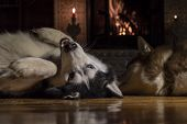 Dogs Lie In Front Warm Burning Fireplace On Winter Night. Husky Dog Lying On His Back, Holding Up Th poster