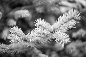 Winter Is Coming. Branches Of Pine Spruce Close Up. Coniferous Evergreen Spruce Tree. Symbolizing Im poster