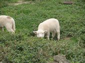 image of suffolk sheep  - A baby lamb out to eat on the farm - JPG