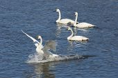 pic of trumpeter swan  - Landing Trumpeter Swan in a river with wings to the side - JPG
