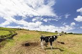 A Pasture Of Black And White Cows On Pico Island In The Azores, Portugal. poster