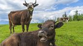 Two Brown Cows Grazing On Meadow In Mountains. Cattle On A Pasture. Agriculture Concept. poster