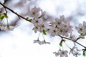 Close Up Full Bloom Beautiful Pink Cherry Blossoms Flowers ( Sakura ) In Springtime Sunny Day. Beaut poster