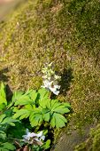 Hollow Root White Flowers Or Corydalis Cava Flower Near A Tree Lit By Springtime Morning Sun. poster