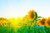 image of sunflower  - beautiful sunflowers at field - JPG