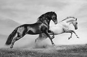 stock photo of stallion  - horses in summer black and white running on freedom - JPG