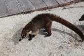 stock photo of ant-eater  - Taken on Iberostar resort on beach in Rivera Maya - JPG