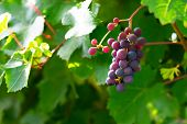 Juicy Grape Cluster Growing On A Bush In Summertime On Bright Sunlight In Vineyard. Red Wine Grapes  poster