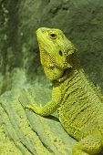 stock photo of godzilla  - Iguana is ready to adapt to the light in the farm - JPG