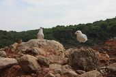 Two Specimens Of White-legged White Seagulls Perched On A Cliff Rock Observing The Horizon Waiting F poster