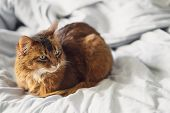 Domestic Cute Cat Lying In Bed Sheets Inside. poster