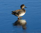 foto of gadwall  - Drake Gadwall standing on clear reflective ice - JPG