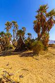 Small Grove Of Doum Palm Trees (hyphaene Thebaica), In The Arava Desert, Southern Israel poster