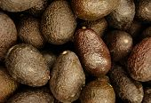 foto of avocado tree  - Avocados