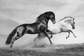 picture of running horse  - horses in summer black and white running on freedom - JPG