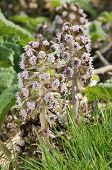 image of butterbur  - Two Butterbur Flowers - Petasites hybridus