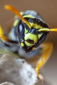 picture of mandible  - Portrait of a young paper wasp queen showing oculii and mandibles.