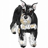 image of schnauzer  - serious cute dog breed Miniature Schnauzer color black and silver - JPG