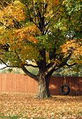 stock photo of tire swing  - Beautiful old maple tree - JPG
