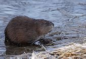 foto of muskrat  - A muskrat (Ondatra zibethicus) sitting on the shore of the Grand River in Ontario Canada.