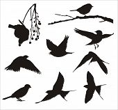 picture of nightingale  - vector silhouettes of flying and eating Song Birds - JPG