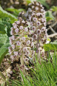 picture of butterbur  - Two Butterbur Flowers - Petasites hybridus Common along canal banks - JPG