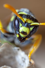 stock photo of mandible  - Portrait of a young paper wasp queen showing oculii and mandibles.