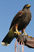 Falconers with their Harris's Hawk (parabuteo unicinctus)