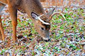 stock photo of deer rack  - A Whitetail Deer Buck in a woods - JPG