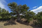 pic of juniper-tree  - Relict juniper tree in the Crimean mountains - JPG