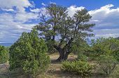 image of juniper-tree  - Relict juniper tree in the Crimean mountains.
