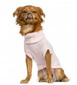 stock photo of chihuahua mix  - Dressed - JPG