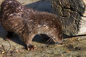 Young European otter