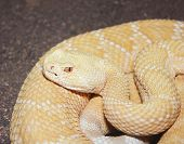 foto of western diamondback rattlesnake  - A Close Up of an Albino Western Diamondback Rattlesnake Crotalus atrox - JPG
