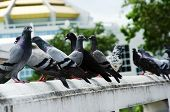 foto of pigeon  - Pigeons on the railing of the building as a backdrop.