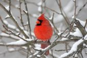 foto of cardinal  - Male Northern Cardinal  - JPG