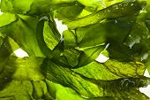 stock photo of green algae  - wet seaweed kelp  - JPG