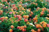 stock photo of lantana  - Lantana or Wild sage or Cloth of gold or Lantana camara flower in the garden - JPG