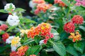 picture of lantana  - Lantana or Wild sage or Cloth of gold or Lantana camara flower in the garden - JPG