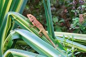 picture of lizards  - brown Lizard - JPG