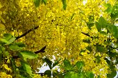 picture of cassia  - Golden Shower Tree Cassia Fistula is a tropical tree with yellow flower heads - JPG