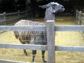 stock photo of lamas  - a lama or a farm animal in farmland - JPG