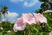 picture of ipomoea  - Morning Glory Tree or Ipomoea carnea flowers and blue sky background