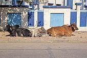 pic of zebu  - Three relaxing cows on a street in Porbandar Gujarat - JPG