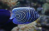 stock photo of emperor  - Close-up view of a Juvenile Emperor angelfish - Pomacanthus imperator