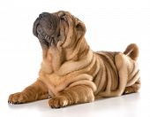 picture of shar pei  - chinese shar pei laying down looking up isolated on white background - JPG